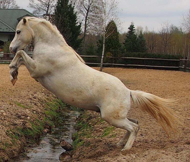 Trening koni psotnik koń skacze przez wodę na wolności