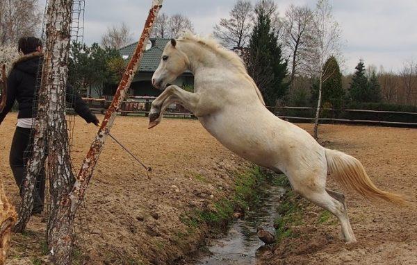 Praca z koniem na wolności skok przez wodę
