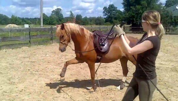 Praca z koniem z ziemi stęp hiszkanski