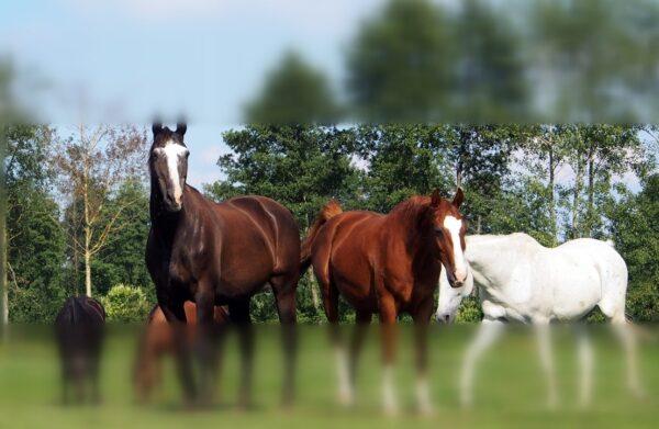 Percepcja otoczenia Smuga wizualna w treningu koni