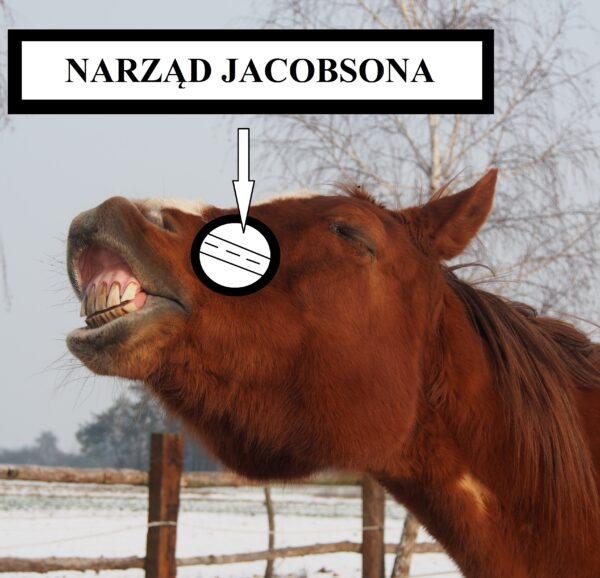 Percepcja otoczenia Narzą Jacobsona w treningu koni