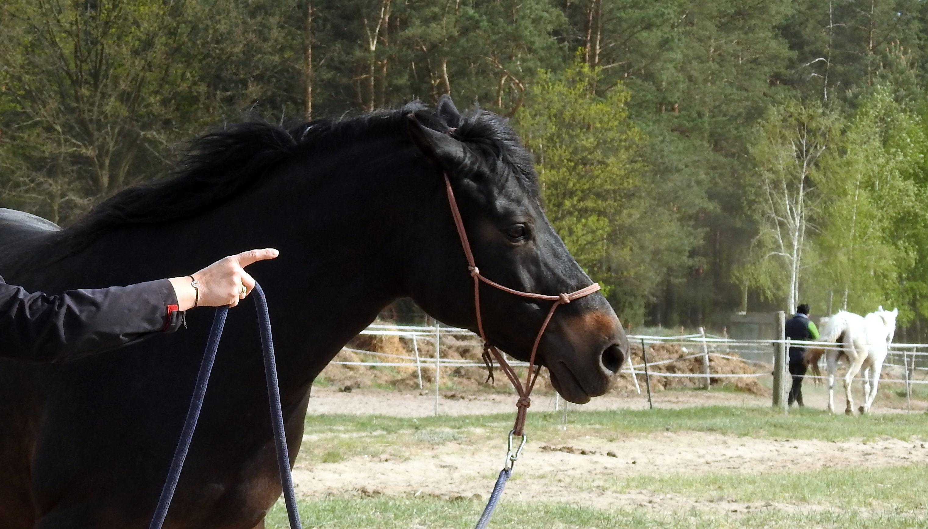 konia_obowiazki_odeslanie-na-kolo