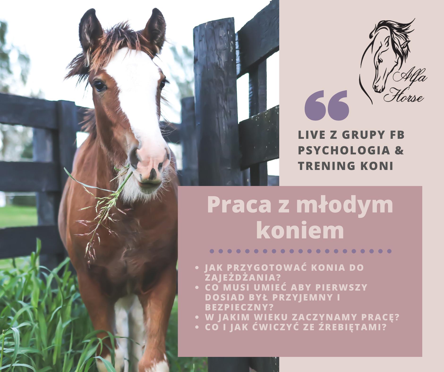 trening_koni_praca_mlody_kon