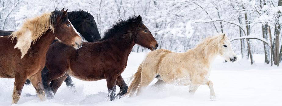 konie_zima_biegną_stado_trening